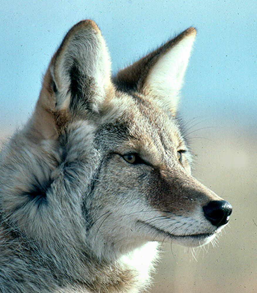 coyote dick
