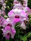 Kepada Pengemar Bunga Orchid