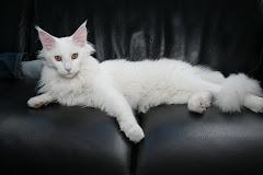 Shaggy Wildcats Xamina