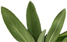 Sage, Salvie officinalis