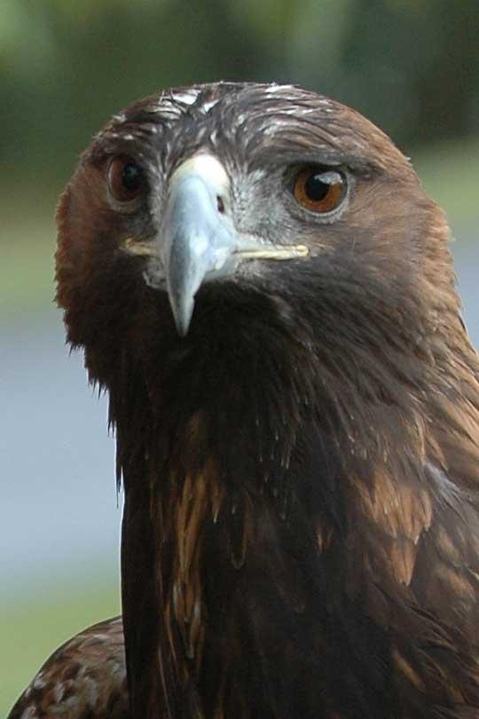 golden eagle pictures. hair Golden Eagle golden