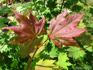 Vine Maple (Acer circinatum)