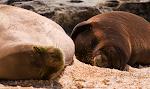Monk Seal Mama & Pup