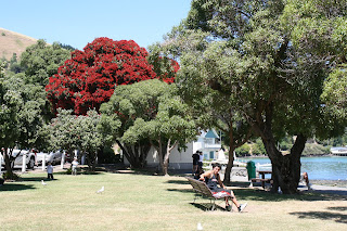 The New Zeeland Christmas tree  - the Pohutakawa