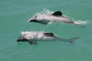 Hectors Dolphin - Akaroa