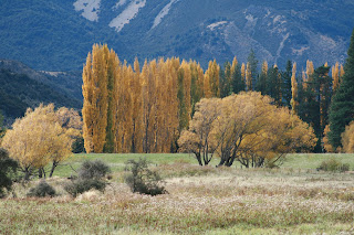 gold leave willow trees in autumn
