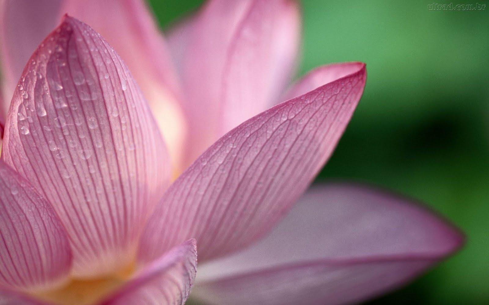 http://4.bp.blogspot.com/_7I4hdUn2tME/S7EG8-HBQBI/AAAAAAAAAVQ/xRrMl0ZiQsA/s1600/67997_Papel-de-Parede-Flor-de-Lotus--67997_1920x1200.jpg