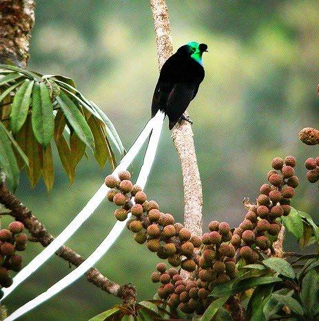 Burung Ekor Panjang
