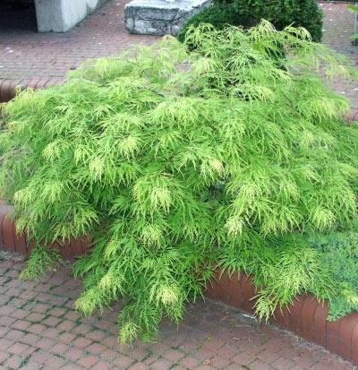 Meilleurs arbustes de jardin arbustes feuillage for Arbuste de jardin