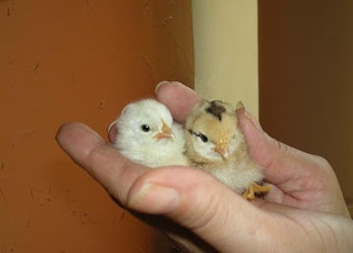 Baby chicks, La Ceiba, Honduras