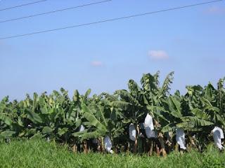 banana plantation, Honduras