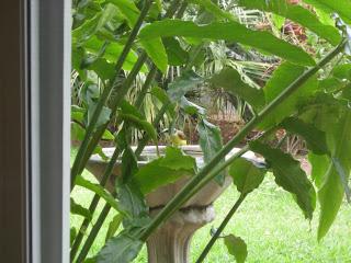 kiskadee, La Ceiba, Honduras