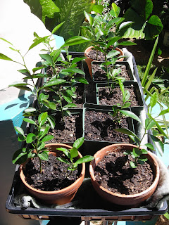 Key lime seedlings (Citrus aurantifolia)