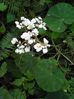 Wild white begonias, Honduras
