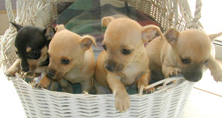 6-week-old Chihuahuas