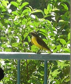 Great Kiskadee, La Ceiba, Honduras
