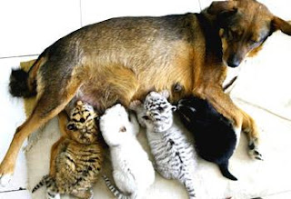 Dog nursing tiger triplets
