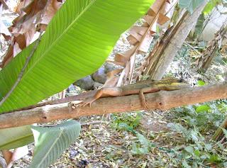 lizard, La Ceiba, Honduras