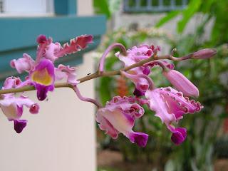 Myrmecophila tibicinis, Honduras orchid