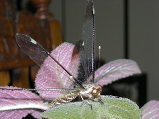 dragonfly, Honduras