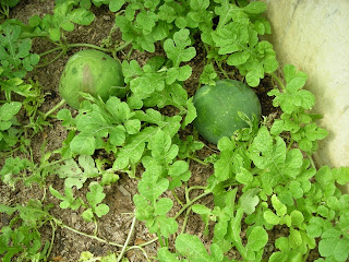 Moon and Stars watermelon, Honduras