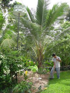 Coconut palm, La Ceiba, Honduras