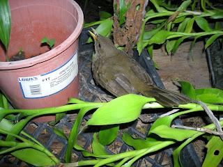 Turdus grayi, La Ceiba, Honduras