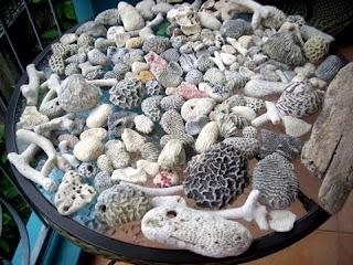 coral from Utila, Honduras