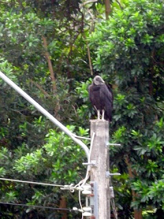 Black vulture, Honduras