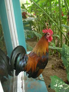 Honduran bantam rooster