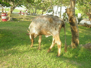 cow, Honduras