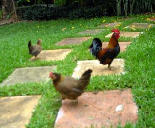 chickens, La Ceiba, Honduras
