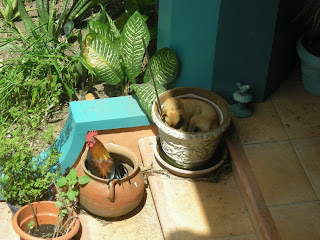 rooster and chihuahua in pots