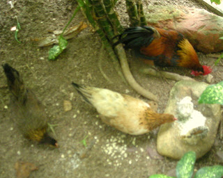 Bantam chickens, La Ceiba, Honduras