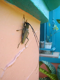 Long horned beetle, La Ceiba, Honduras