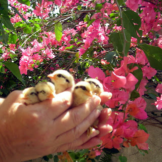 bantam chicks, La Ceiba, Honduras