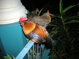 dog in the chicken coop, La Ceiba, Honduras