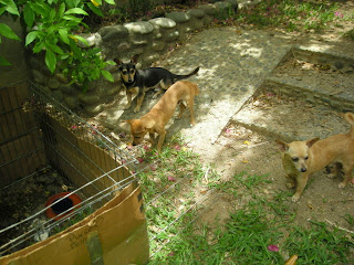 chihuahuas watching the chicks, La Ceiba, Honduras