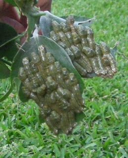 larvae on lemon tree