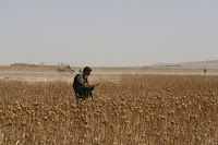 An Afghan soldier patrols through a poppy field earlier this year. The United Nations reports that Afghan poppy and opium production is declining.