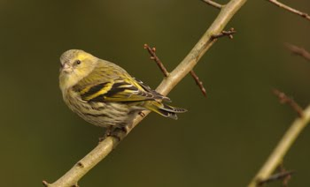 FEMALE SISKIN
