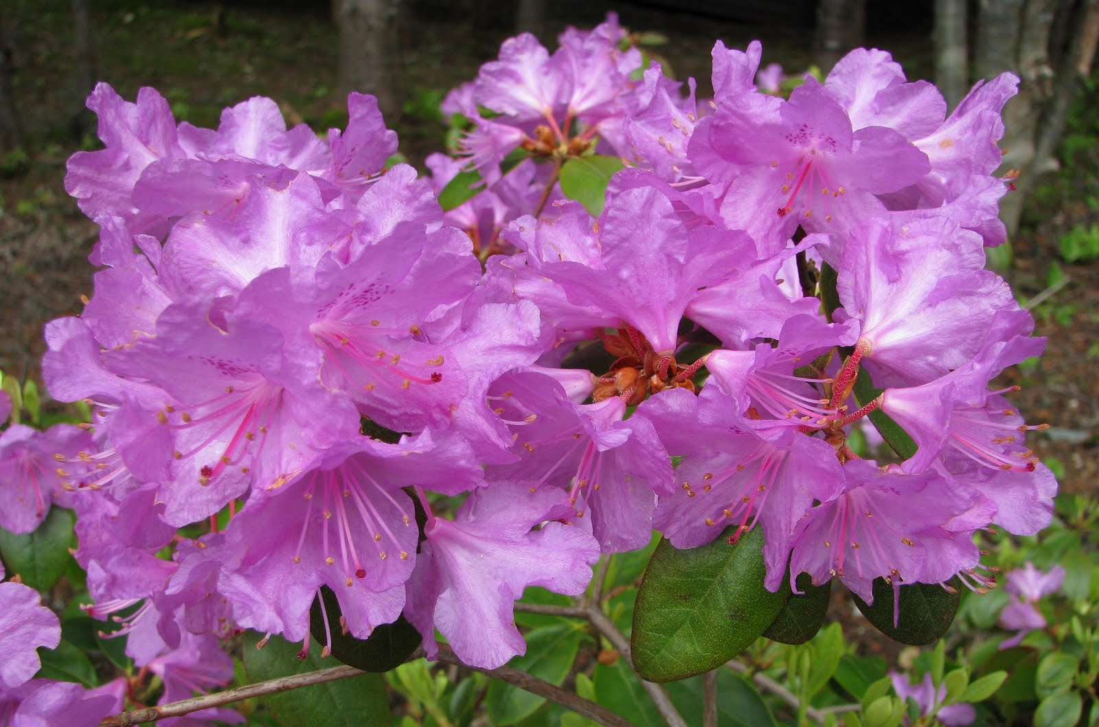 mun botanical garden early season rhododendrons. Black Bedroom Furniture Sets. Home Design Ideas