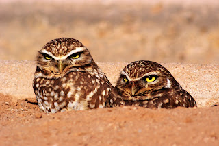 Image of burrowing owls