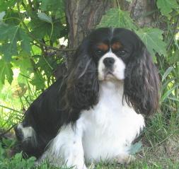 Cavalier  King  Charles  Spaniel  Breeder MN Sawyer Small