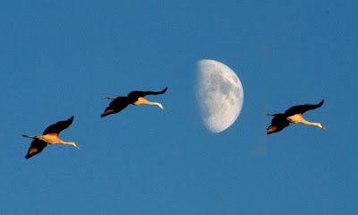 Três garças voam tendo a lua como fundo.