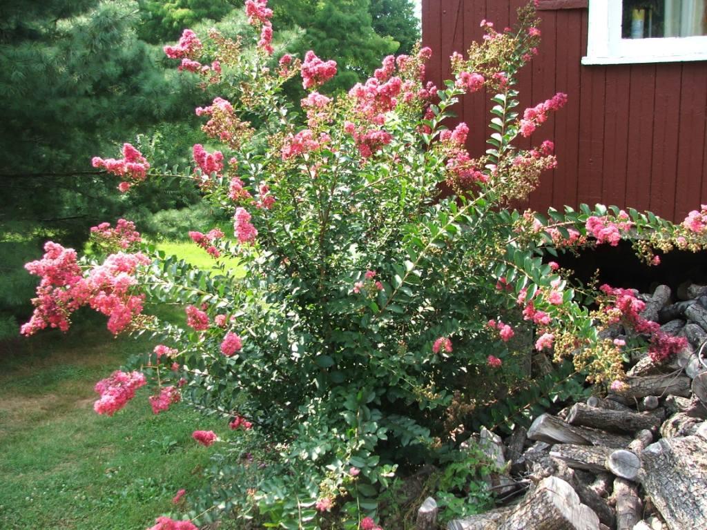 Hort Blog: Summer Color with Crapemyrtles