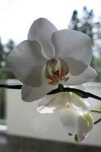 ...Orkidear