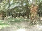 Tanah Untuk Dijual 33 Ekar di Mukim 16 Ulu Tiram