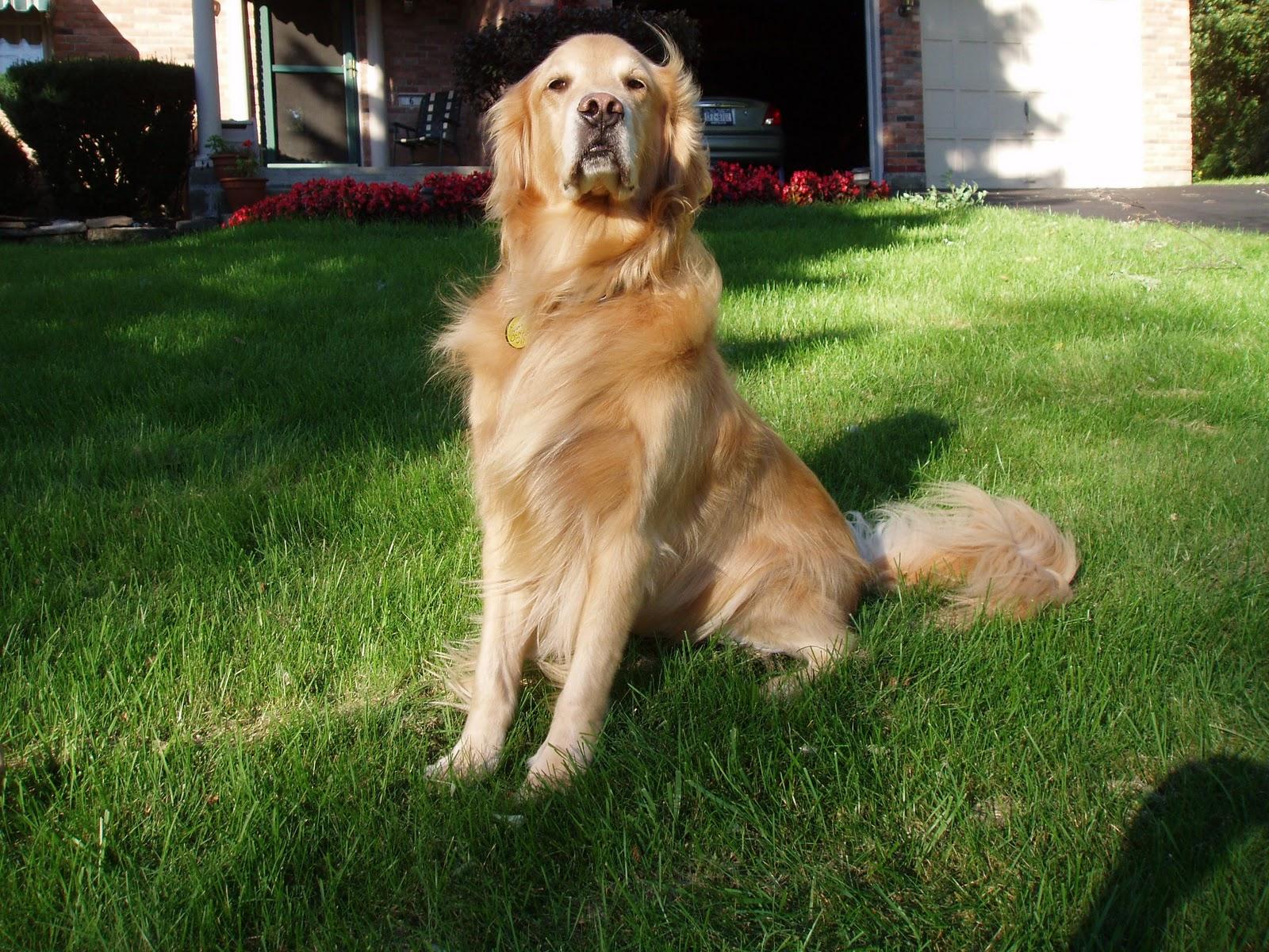 Milik Bogi Syafitri Merawat Anjing Golden Retriever