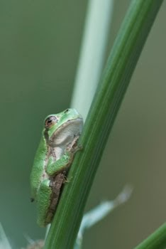 Restoring The Landscape With Native Plants: Frogs & Toads